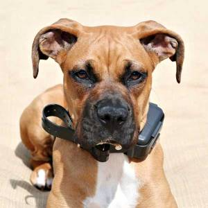 Boxer puppy in shock collar by Shutterstock