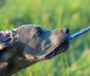 Dog-playing-tug-Thinkstock-99255739-335lc041013