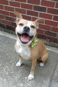 English Bulldog & American Staffordshire Terrier Mix