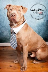 Mastiff & American Bulldog Mix • Adult • Male • Medium