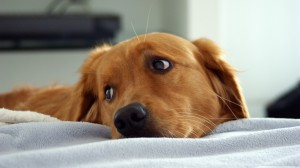 sad-golden-retriever-photo
