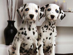 Dalmatian Pair