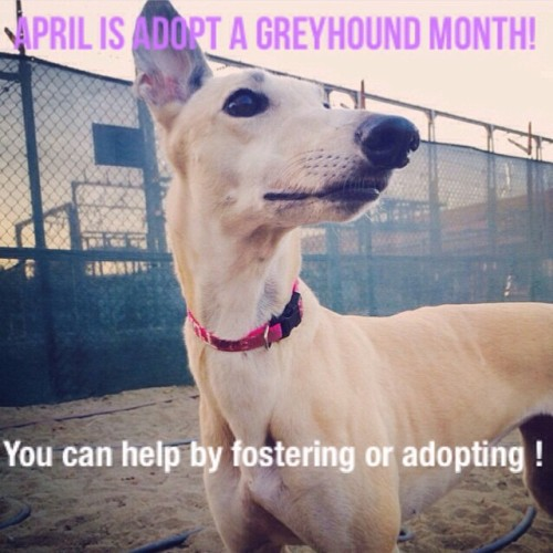 greyhound adoption